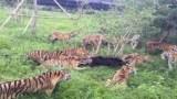 ΑΓΡΙΑ ΜΑΧΗ – Όταν μια αγέλη τίγρεων επιτίθεται σε… αρκούδα (Video)
