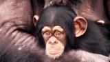 Χιμπαντζήδες-πειραματόζωα βλέπουν για πρώτη φορά το φως του ηλίου. Ένα βίντεο που θα σας συγκινήσει…