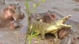 Μια Αγέλη ιπποπόταμων επιτέθηκε σε κροκόδειλο που εισέβαλε στο χώρο τους (Βίντεο)