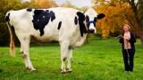 Αυτή είναι η πιο ψηλή αγελάδα στον κόσμο! (Βίντεο)