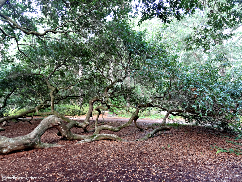 Angel Oak Tree, Charleston, SC - Travel Tips for a Weekend in Charleston