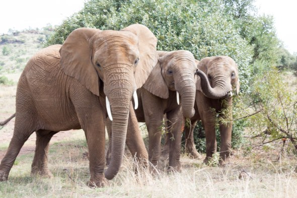 amazingwe-elephants