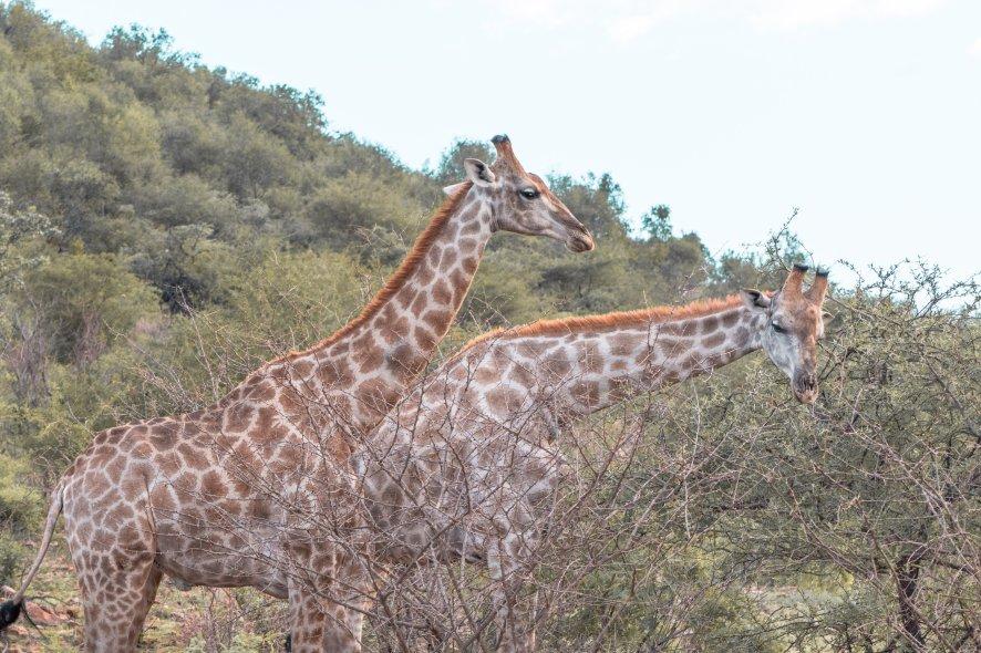 bakubang-bush-lodge-giraffe
