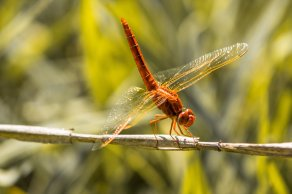 strawberry-picking-southafrica-dragonfly