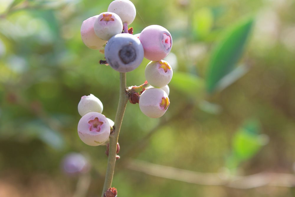 parys - close up of berries