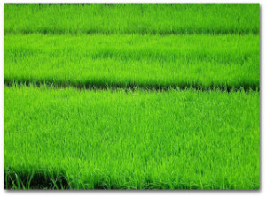 rice-paddy-shad