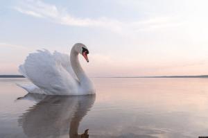 Swan Gliding Down Stream