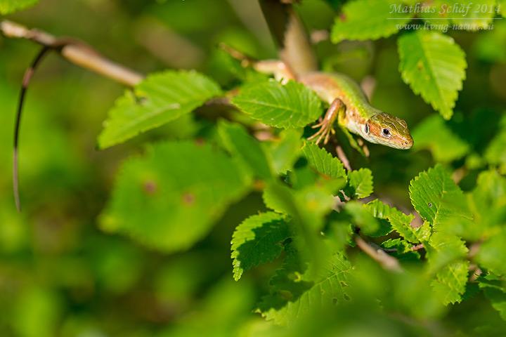 Östliche Smaragdeidechse, Lacerta viridis, Eastern Green Lizard