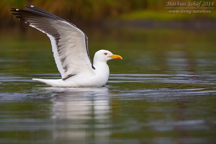 Heringsmöwe, Lesser Black-backed Gull, Larus fuscus