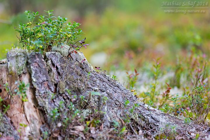 Preiselbeere, Vaccinium vitis-idaea, lingonberry
