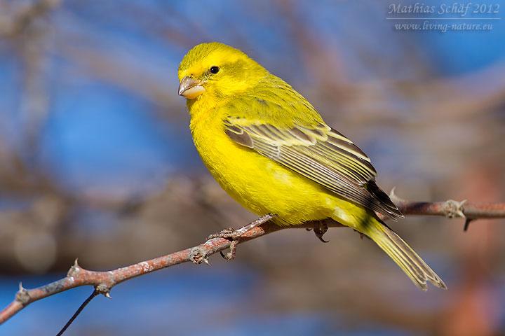 Gelbbauchgirlitz, Yellow Canary, Serinus flaviventris