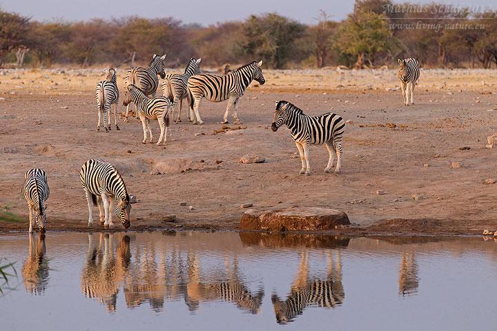Steppenzebra, Burchell's zebra, Equus quagga
