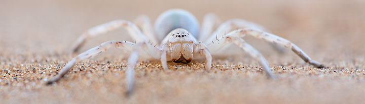 white_lady_spider_5dmk3_05781