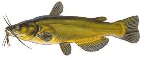 Catfish, black bullhead (Pesce gatto) (Ameiurus melas)