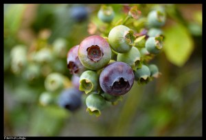 Blueberries by Fabrizio Longhi