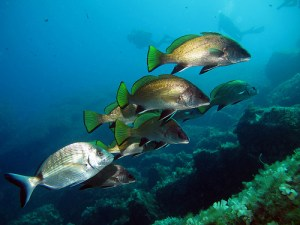 Meagre, brown (Corvina) (Sciaena umbra)