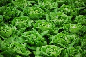 Butterhead lettuce by Kim Chan