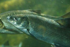 Whitefish, European (Coregone/Bondella, Lavarello) (Coregonus lavaretus, Coregonus macrophthalmus)