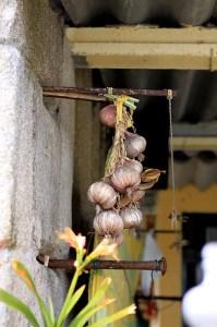 Garlic (Aglio) (Allium sativum)