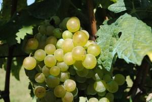 Grape, Raisin (Uva, Uvetta/Uva passa) (Vitis vinefera)