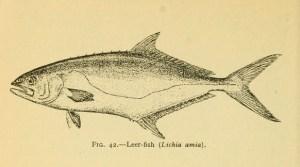 Leerfish / Garrick (Leccia) (Lichia amia)
