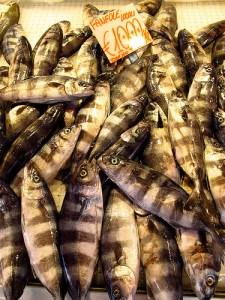 Pilot fish (Pesce pilota) (Naucrates ductor)