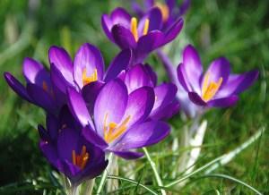 saffron (Zafferano) (Crocus sativus)