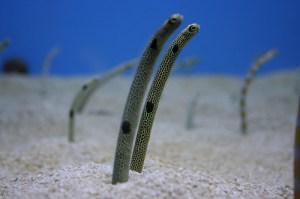 Eel, Mediterranean sand (Cicerello) (Gymnammodytes cicerelus)