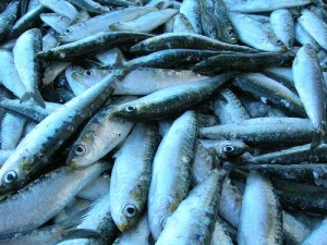 Sardine / European pilchard (Sarda / Sardina / Sardella / Acciuga) (Sardina pilchardus)