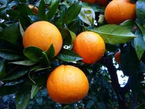 ommon orange / Juicing orange (Arancia dolce) (Citrus sinensis)
