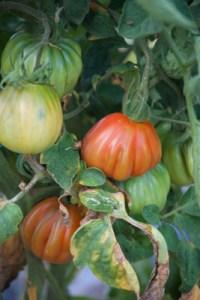 tomato, cuore di bue- lombardia