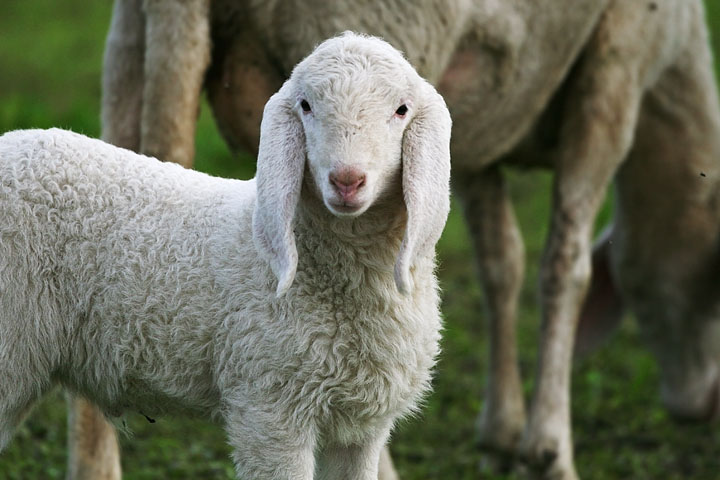 Lamb by Luca Moglia