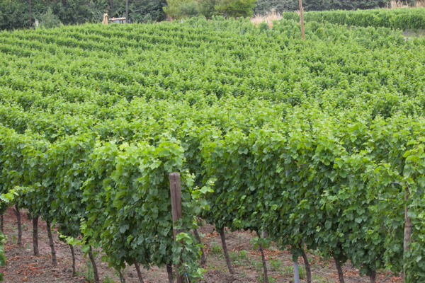 Vines of Incrocio Manzoni