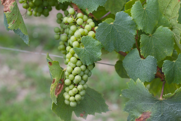 Grapes destined for sparkling wine