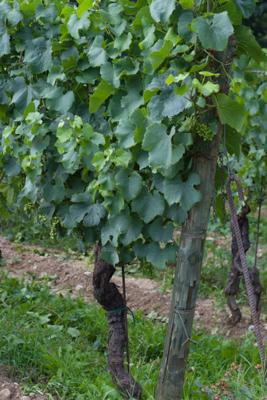 Vines in Franciacorta