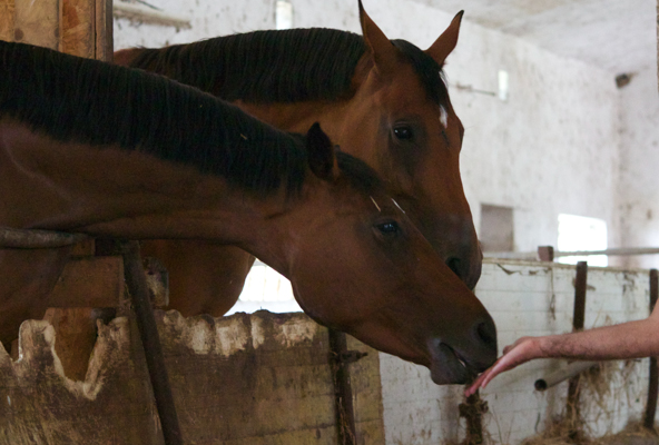 Feeding the horses apples