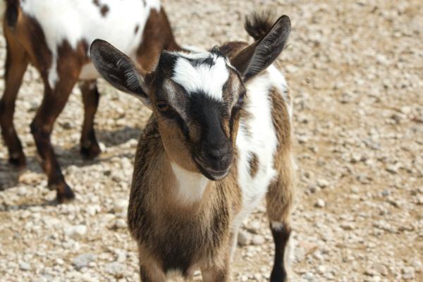Feeding kid goats at Parco Natura Viva