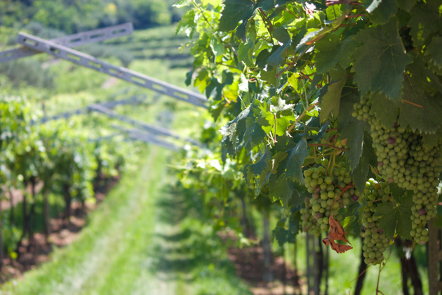 Armed trellises in the vineyard of La Giaretta