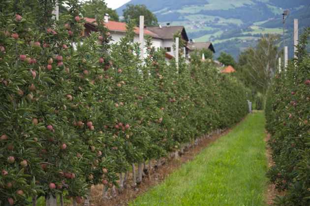 Trellised apple trees
