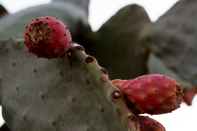 Cactus fruit growing wild