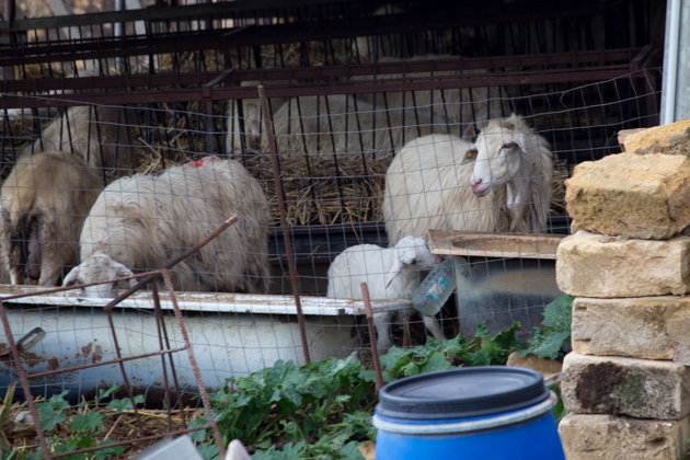 Sheep in Valle del Belice
