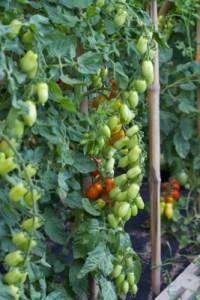 tomatoes, pendulum 2 -lombardia