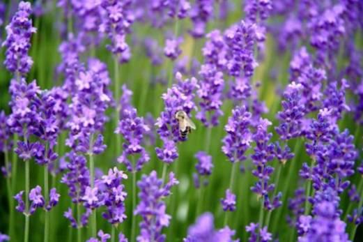 06-lavender