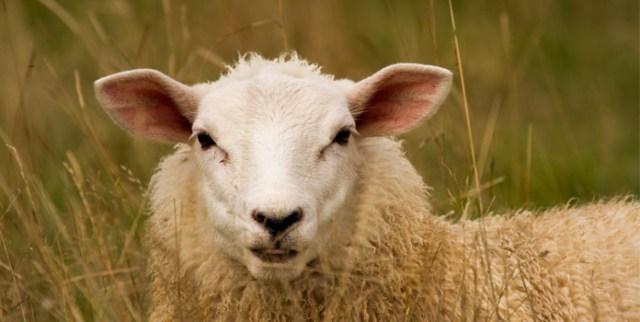 the-reason-behind-sacrifice-of-ram-or-sheep