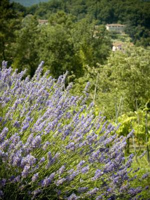 Tuscan lavender ©iStockphoto.com/t-lorien