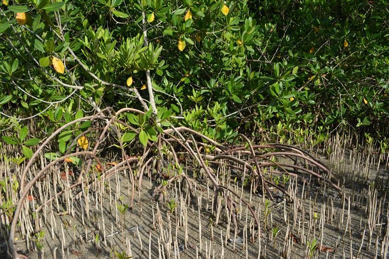 JAMIN Fall 2016 Photos KSLOF Bahamas Mangrove