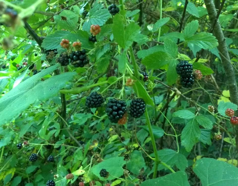 Blackberries in the wild