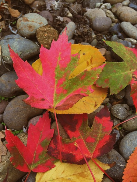 Maples show their brilliant color in Fall- Living With Color Designs