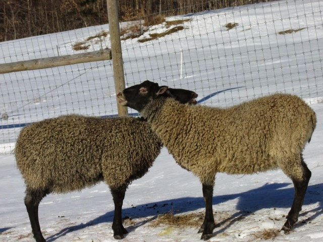 Gotland Rams at VT Grand View Farm