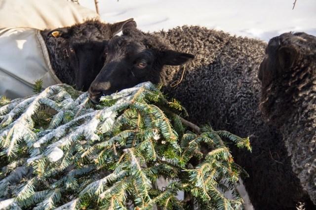 Gotland Ewes on Grand View Farm Eat Pine
